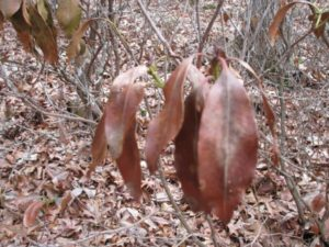 dead rhododendron leaves