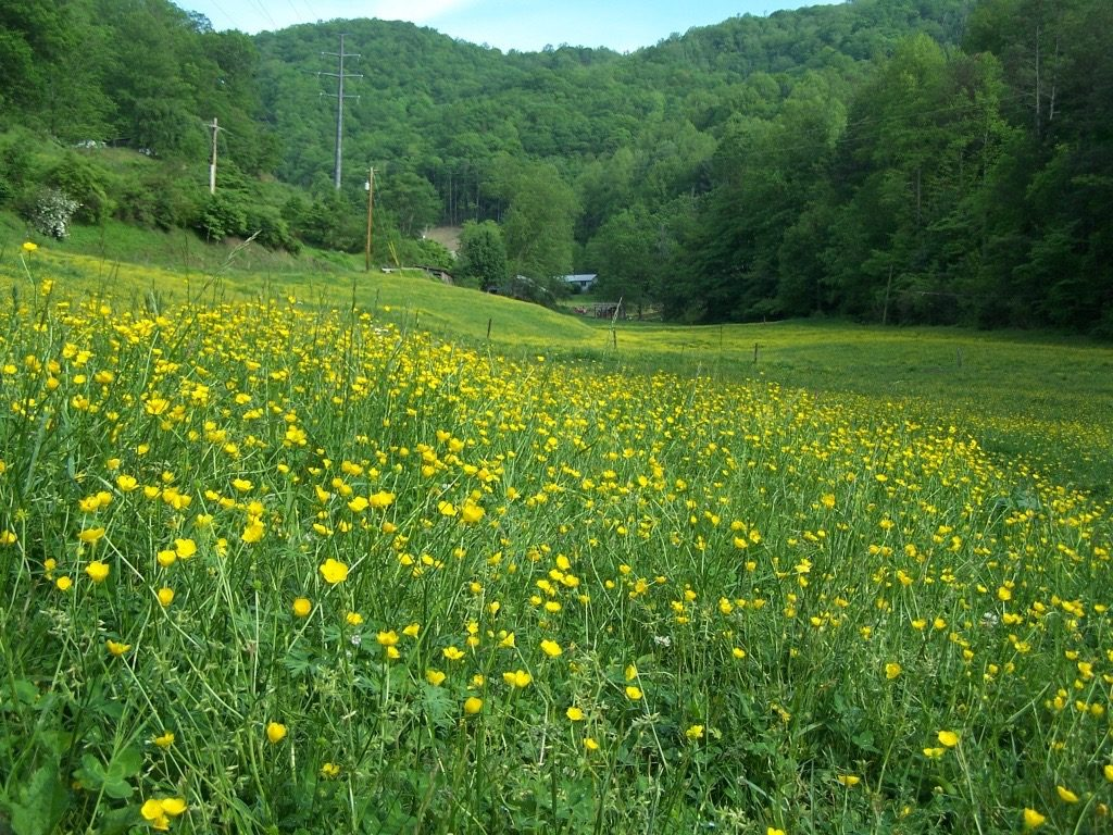 Buttercups growing in pasture