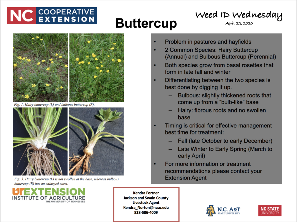 Buttercup Weed ID Wednesday