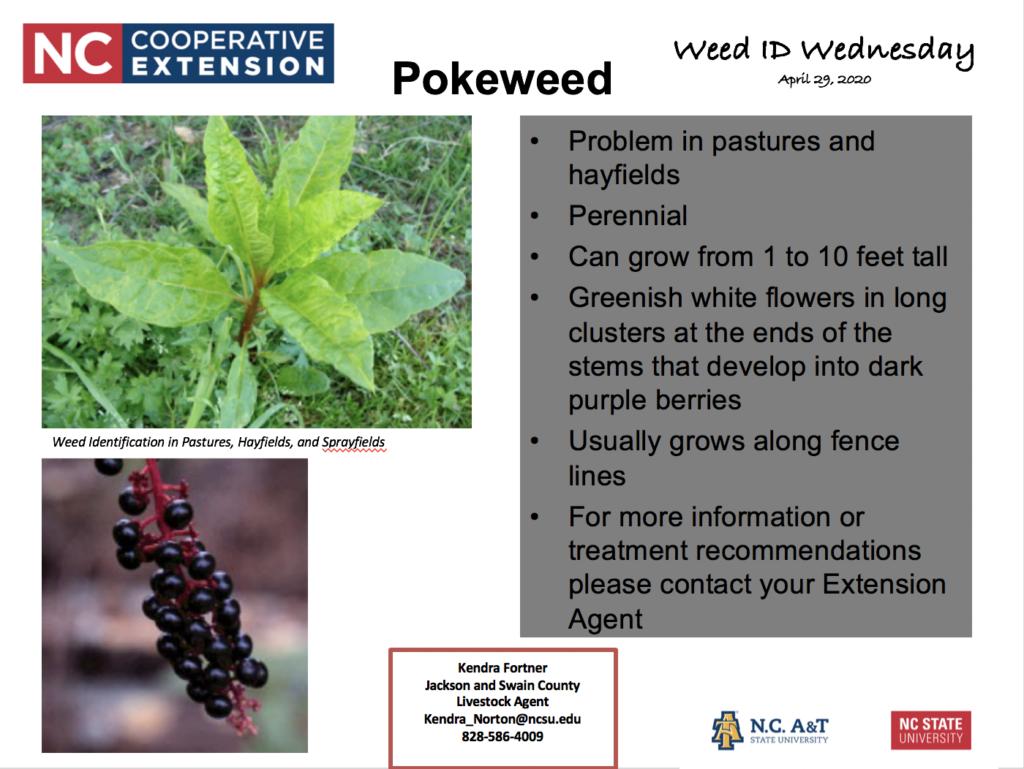 Pokeweed ID information