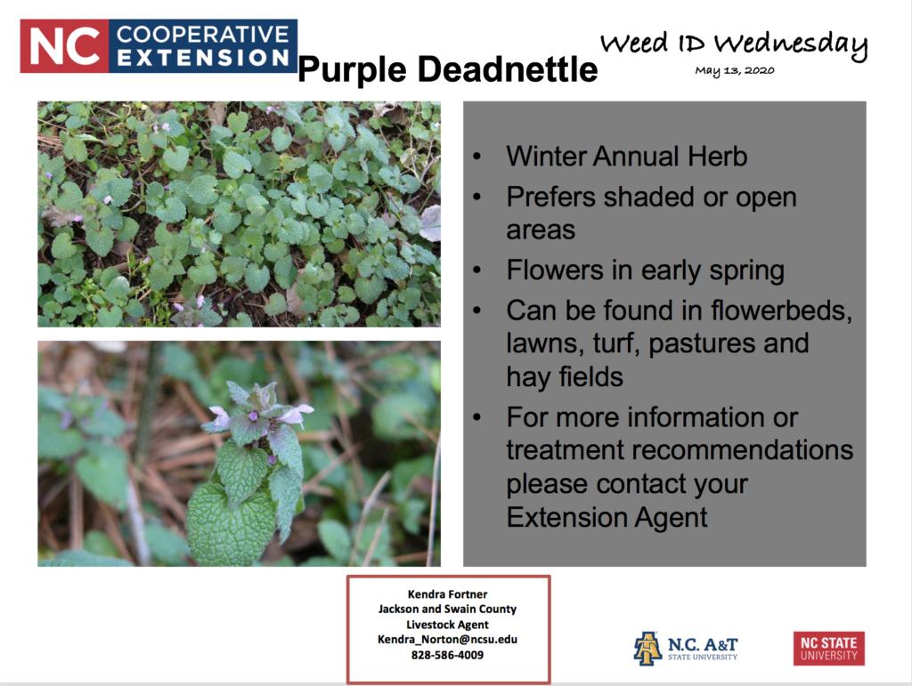 Weed - Purple Deadnettle