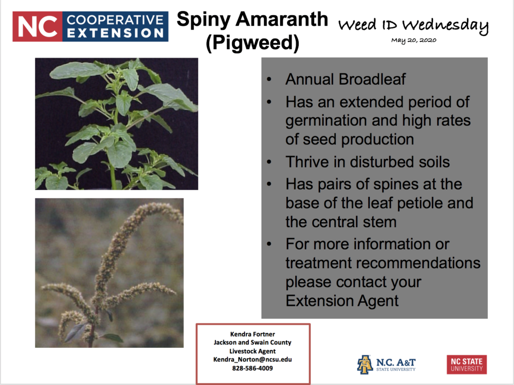 Weed ID Wednesday: Spiny Amaranth