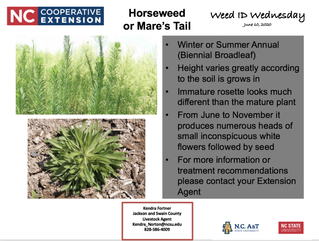 Weed ID Wednesday Horseweed