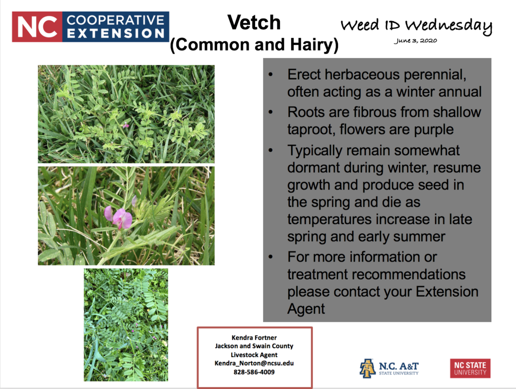 Weed ID Wednesday - Vetch