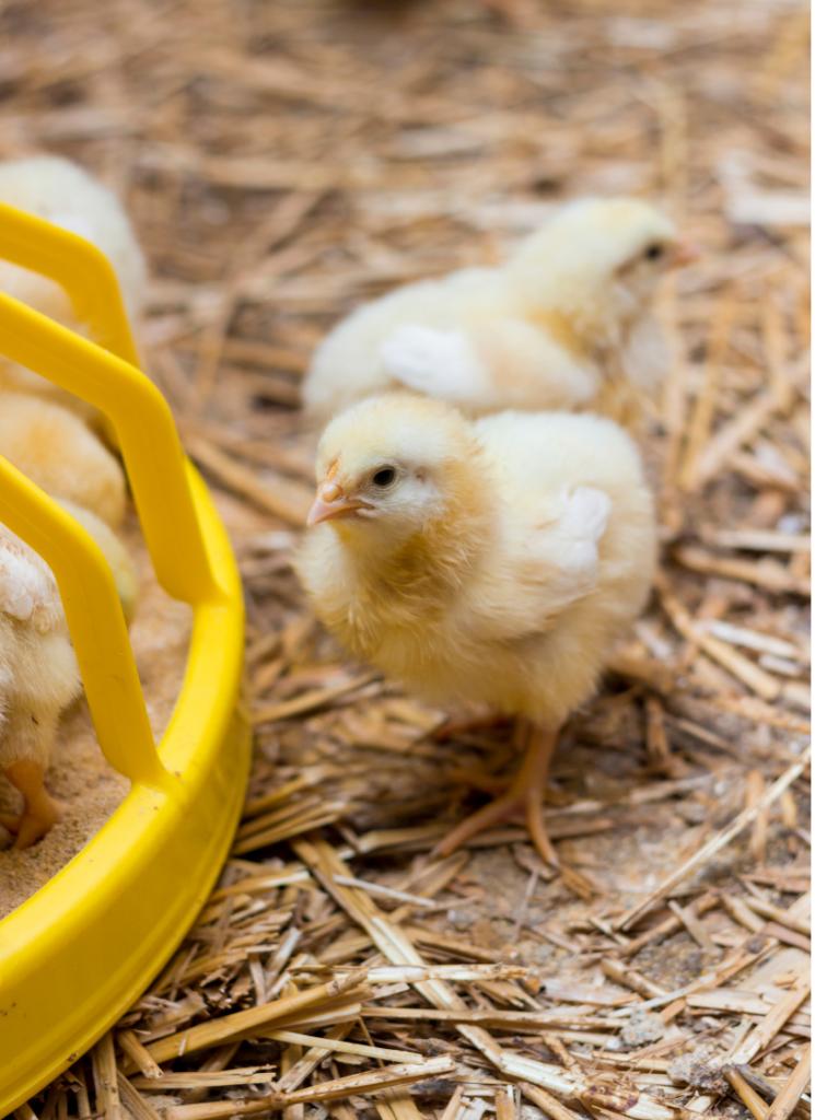 Baby chicks at feeder